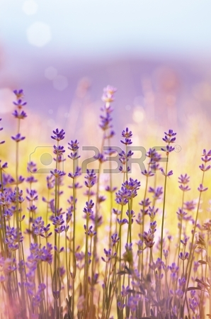 16909086-lavender-flowers-bloom-summer-time